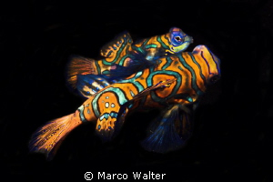 Mandarine fishes during night-dive by Marco Walter 